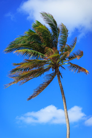 strong wind: palm tree in a strong wind against the sky