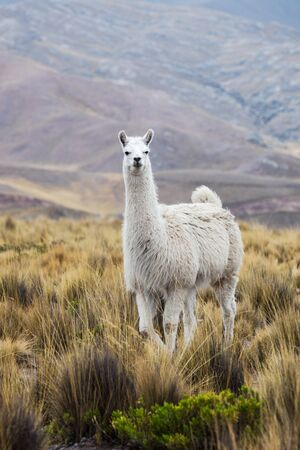 lama beautiful mountains in the background Stock Photo