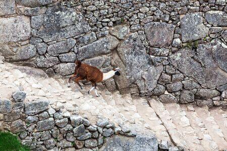 machu picchu: lama on the stairs at Machu Picchu Stock Photo