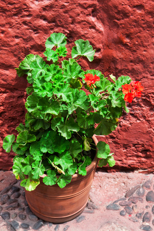 vase plaster: geraniums on a background of the red wall