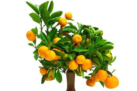 tangerine tree: small tangerine tree on a white background