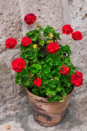 flower pot: geranium in a flowerpot on the stone wall background Stock Photo