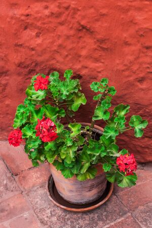 vase plaster: geranium on a background of the orange wall Stock Photo