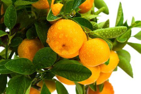 ripe fruit on the tree, tangerine