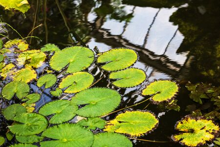 Water lily leaf in a pond. Natural, green Stok Fotoğraf