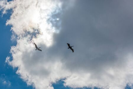 two pelicans flying against the sky