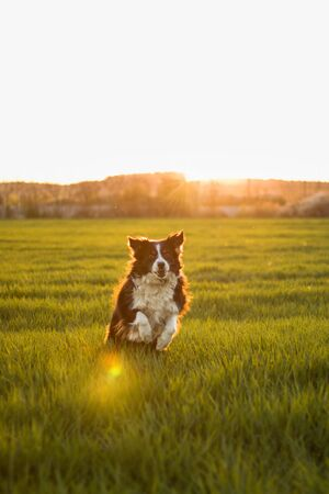 Border collie during sunrise. Border collie in summer in green surrounding.