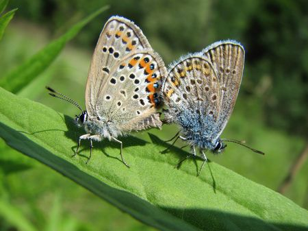Colorful copulating butterflies in the grass photo