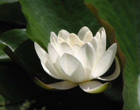 white lotus flower 스톡 사진
