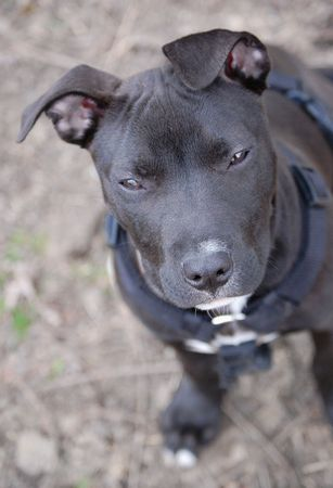 black an white american pitbull terrier