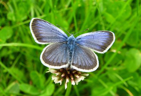 blue butterfly on grass stem with open wings