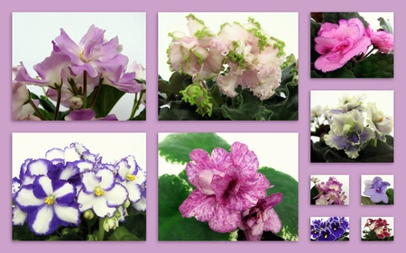 collage of african violet on a pink background 스톡 사진