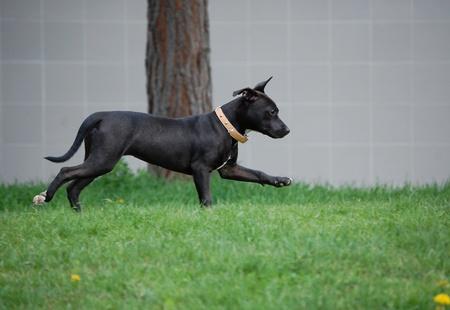 running pitbull terrier dog