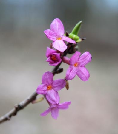 dafne: macro di fioritura daphne Archivio Fotografico