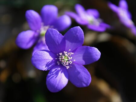 hepatica: hepatica in the spring forest