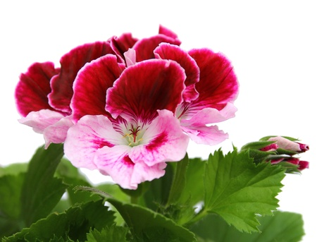 pink and white geraniums Stock Photo - 9214259