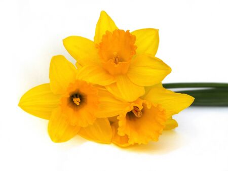 yellow daffodil photo