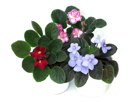 houseplants: African violets Stock Photo