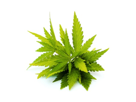plant drug: hemp Stock Photo