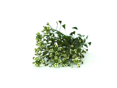 Capsella bursa - pastoris