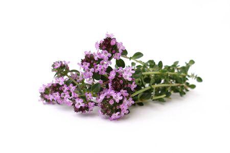 wild botany: thyme Stock Photo