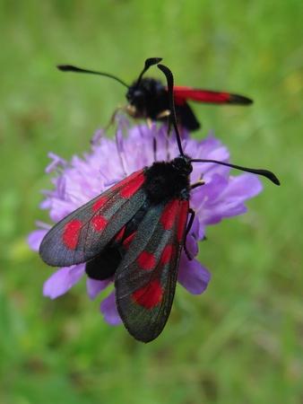 butterfly zygaena Stock Photo - 9894574