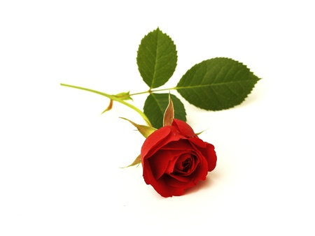 rote rose Standard-Bild