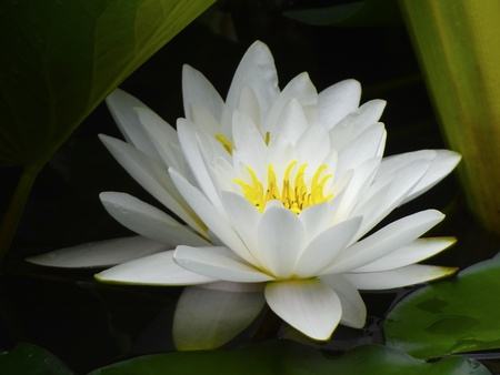 lake flowers: white water lily