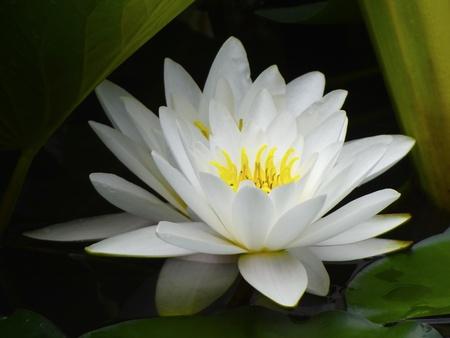 white lotus: white water lily