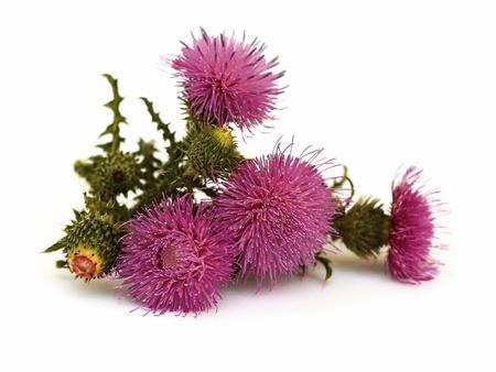 flowering thistle photo
