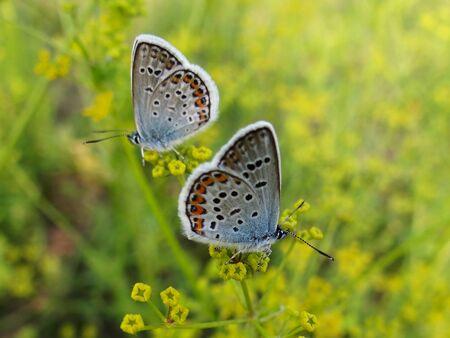 two blue butterflies Stock Photo - 10010633