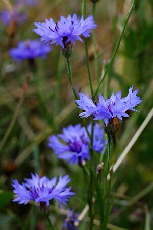 bluebottle photo