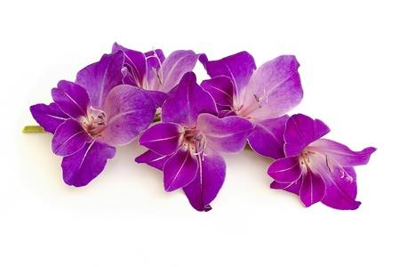 purple gladiolus photo