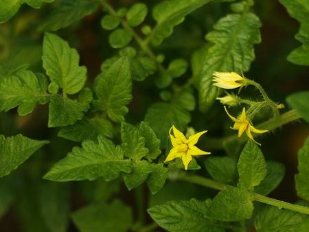 tomato flower photo