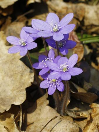hepatica nobilis: liverwort