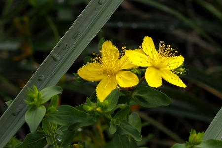 St  John s Wort Stock Photo - 17223737