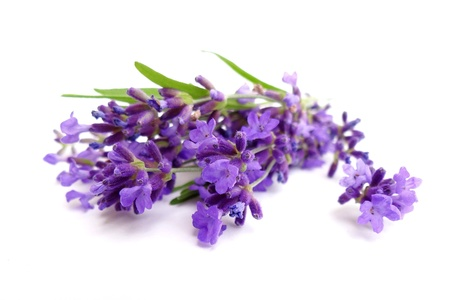 fiori di lavanda: lavanda