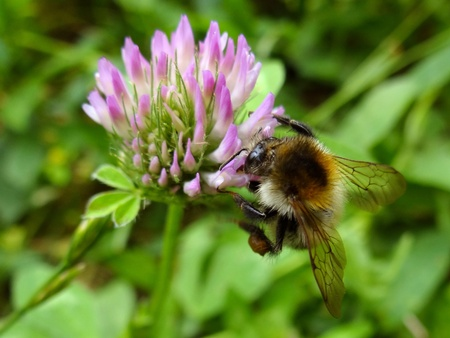 Bumblebee on clover photo