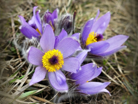 pasqueflower (pulsatilla vulgaris), which blooms in early spring  photo