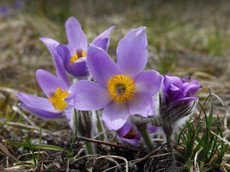 pulsatilla: pasqueflower (pulsatilla vulgaris), which blooms in early spring