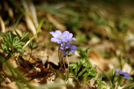 Blue Hepatica blooming in spring in the woods photo