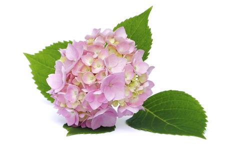 pink hydrangea on a white background