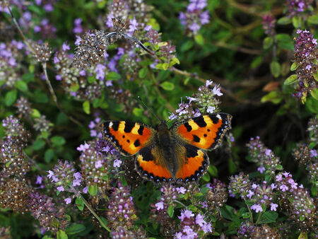butterfly resting on flowers of wild thyme photo