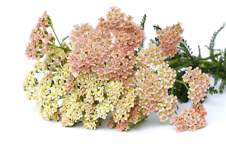 pink yarrow on white background
