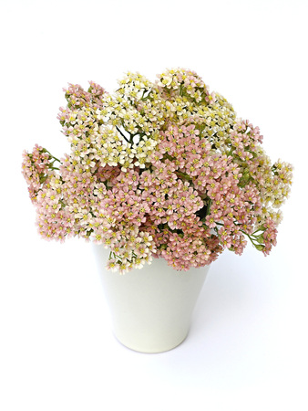 yarrow in a vase on a white background photo