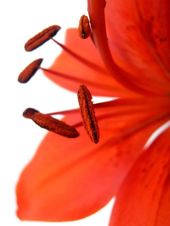 orange lily: orange lily on white background