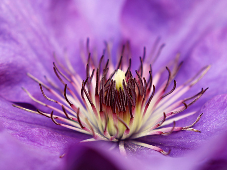 flower close up: Violet clematis flower close up