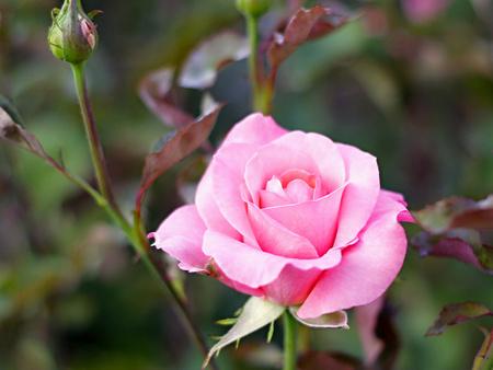 Pink rose in the gardenPink rose in the garden