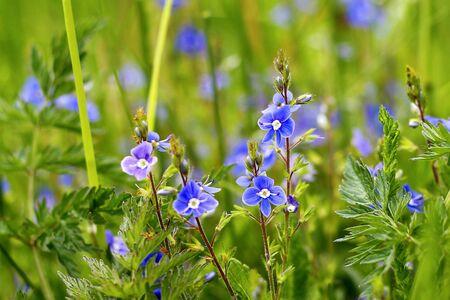 speedwell: blue speedwell and green grass