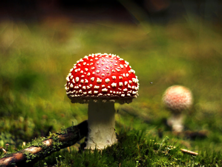 muscaria: Amanita muscaria in the forest